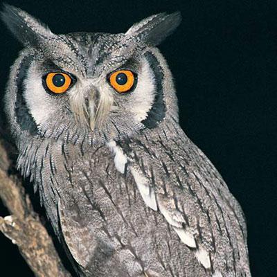 Owl   100 Pics Quiz Answers   100 Pics Cheats