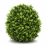 Boxwood Shrub